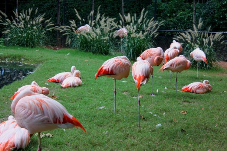 flamingoes at Ashboro Zoo